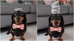 Dachshund Balances 17 Tea Bags on His Head