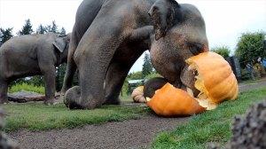 Elephant Squashing Pumpkin