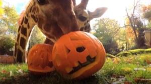 Giraffes Oregon Zoo Pumpkin Treats