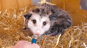 Interview Animals With Tiny Microphone