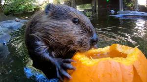 Otter Eating Pumpkin