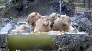 Why Capybaras Went Viral