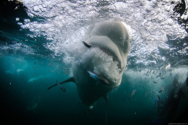 Underwater wildlife photography by Alexander Safonov