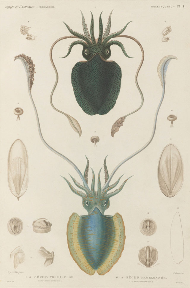 19th century sea mollusk illustrations