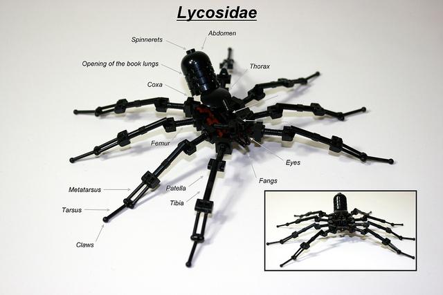Black Wolf Spider (Lycosidae)