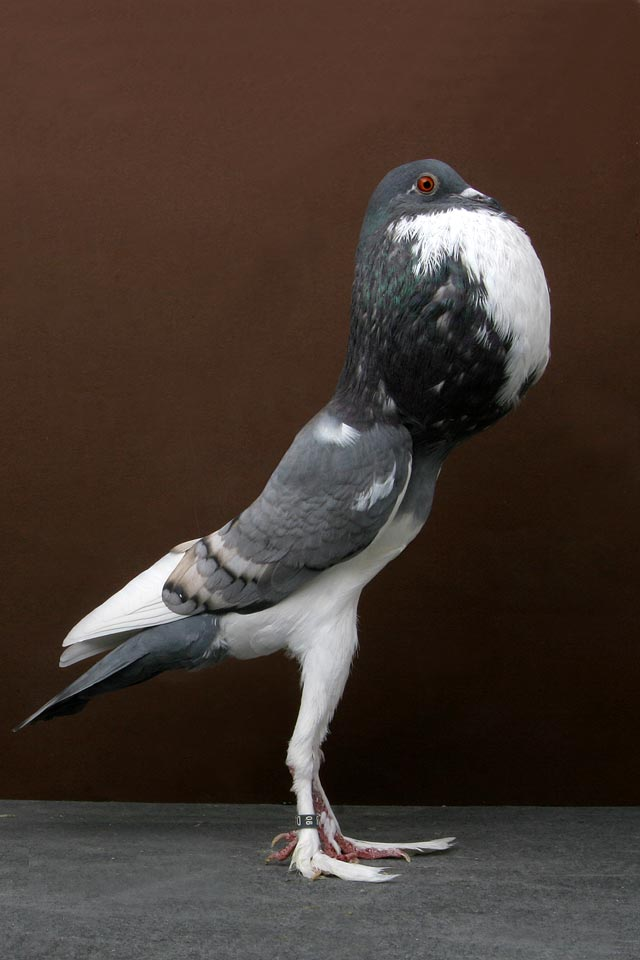 Grand National Pigeon Champion