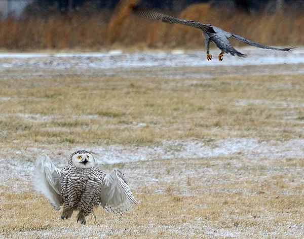 Peregrine Falcon Talons Peregrine Falcon