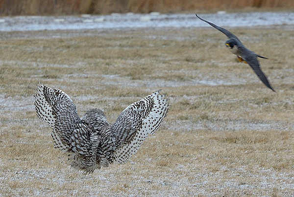 Peregrine Falcon Attacking Owl | www.pixshark.com - Images ...
