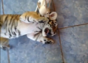 Tiger Cub with dog