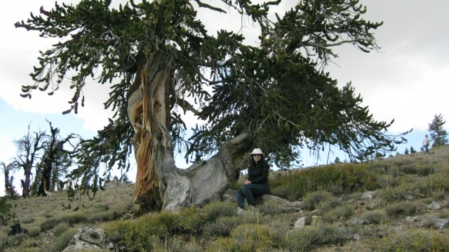 Bristlecone pine tree on Long Now's Nevada property