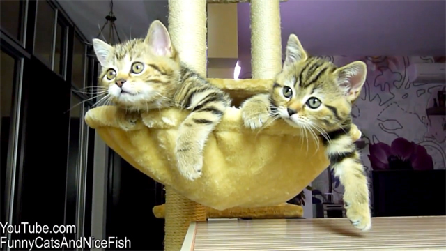 Kittens watching tennis