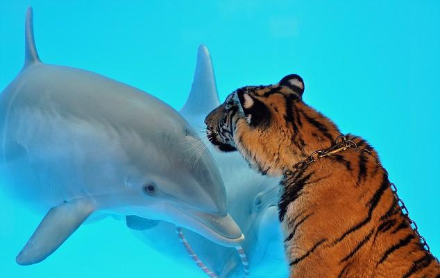 Tiger meets Dolphin