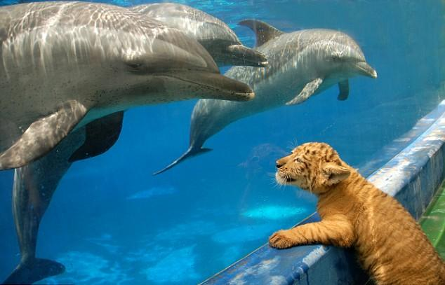 Liger Cub with Dolphins
