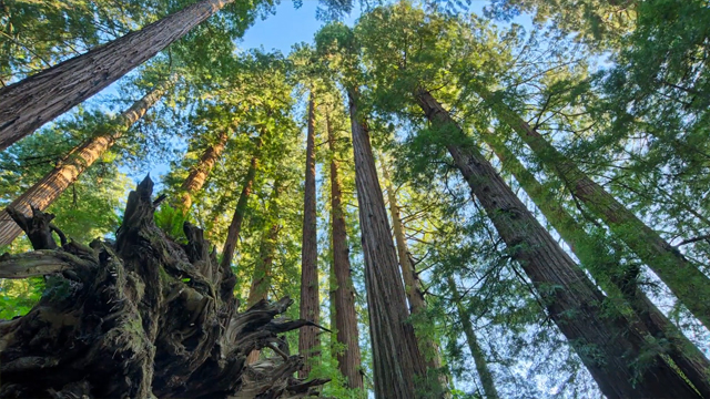 Redwood I by Steven Poe
