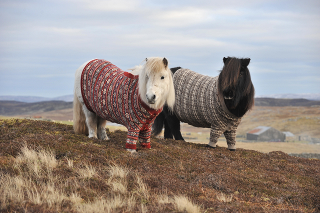 Shetland Ponies Dressed in Cardigan Sweaters To Promote Scotland
