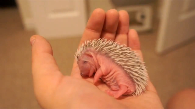 True Facts About HedgeHogs by Ze Frank