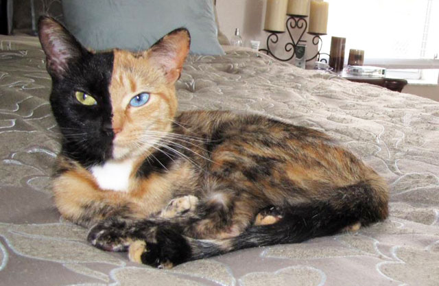 Venus the Two-Faced Chimera Cat